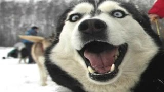 Husky Dogs And Puppies - A Funny Videos And Cute Videos Compilation 2016