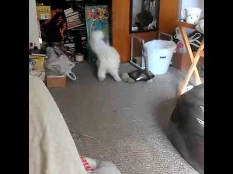 Snowbell playing fetch