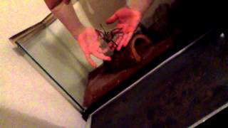 Download How to hold a tarantula Video