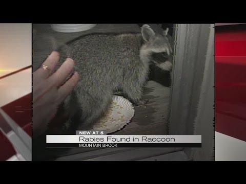 Rabies found in raccoon