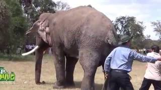 Injured Tusker !