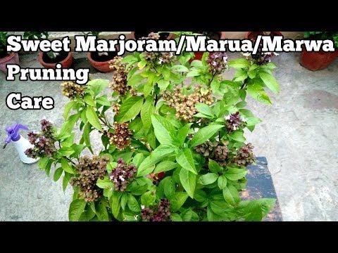 Grow Marwa/Marua/Marjoram/Thai Basil(Complete care instructions)