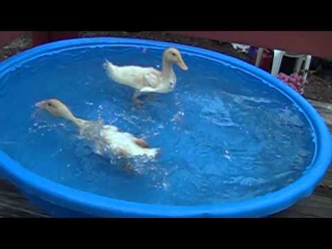 Baby Ducks in the Pool