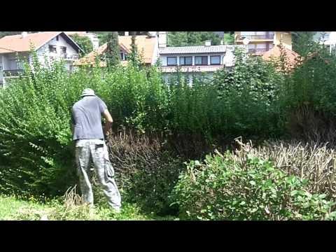 Overgrown  hedge 1