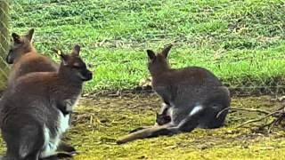 Marwell zoo - wallabies and baby