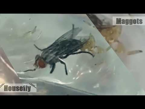 House Fly | Maggots