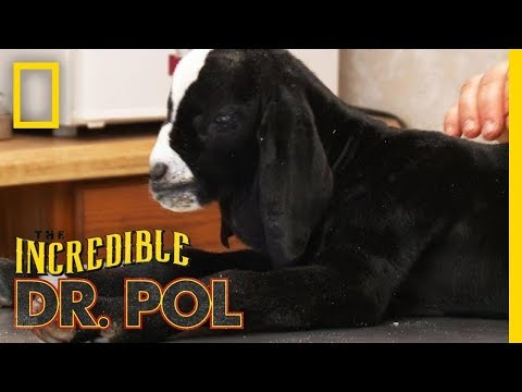 You Goiter be Kidding Me! | The Incredible Dr. Pol