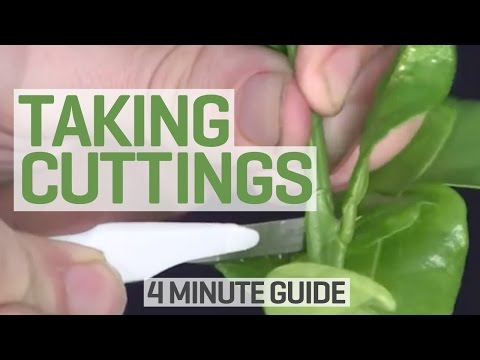 How To Take Cuttings - 4 Minute Guide to Clones and Cloning