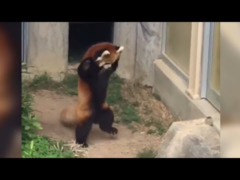 Red Panda Scared by Big Piece of Rock - Red Panda goes Crazy - Crazy - Crazy -Crazy !!