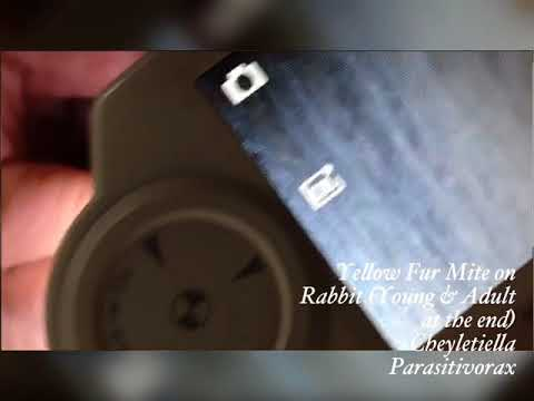 Rabbit Fur Mite - Cheyletiella Parasitivorax