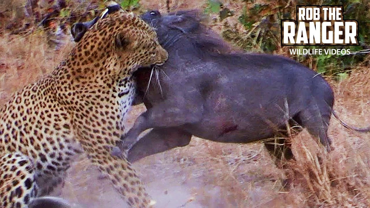 Leopard Catches A Warthog | Rob The Ranger Special Edition