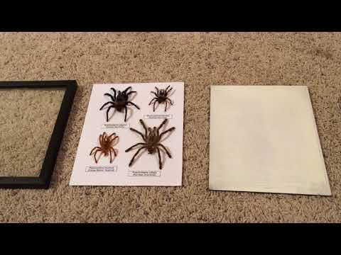 DIY Tarantula Molt Display on the Cheap!