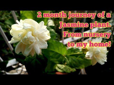 Grow Jasminum Sambac|Journey of a Jasmine plant! (with updates!)