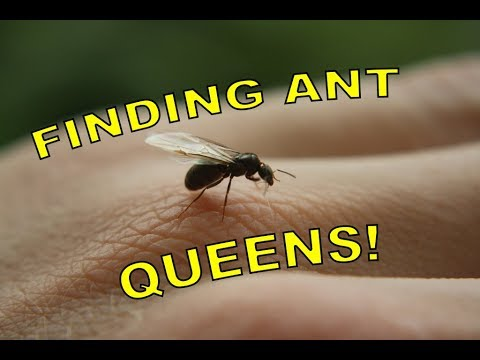 FINDING ANT QUEENS! | Searching for Queen Ants during a Nuptial Flight