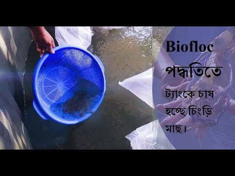 Xxx Mp4 Biofloc পদ্ধতিতে এই প্রথম বাংলাদেশে চাষ হচ্ছে চিংড়ি মাছ।।Romel Agro।। ১৮ ০৭ ২০১৯ ইং 3gp Sex