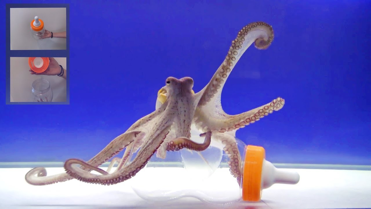 Octopus Intelligence Experiment Takes an Unexpected Turn