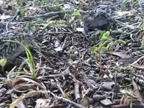 Toad eats Monarch Butterfly Caterpillars