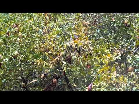 Rat in my Pomegranate tree part 1
