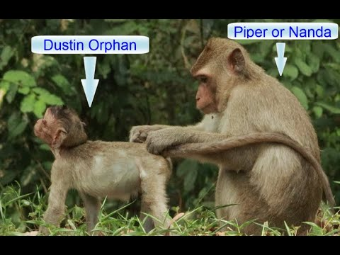 Orphan Dustin Baby in Amber Group Daily,How To See Nanda Nurse Carry Dustin on the Back Go To Sleep