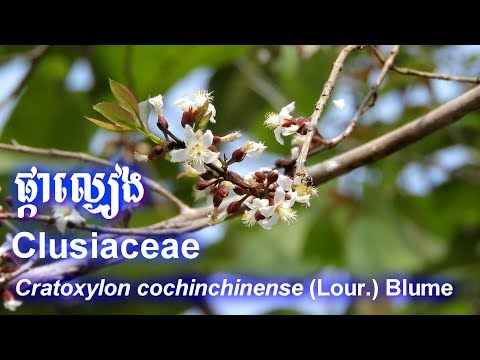 It is a reason why I love natural life | Clusiaceae | Cratoxylon cochinchinense | Flower | Honeybees