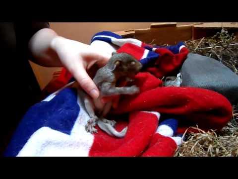 Hydrating a baby squirrel.