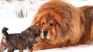 World's Most Expensive Dog Breeds That Only The Rich Can Afford
