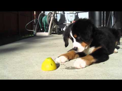 Bernese Mountain Dog Puppy vs Lemon.  The Most Adorable Puppy!!!