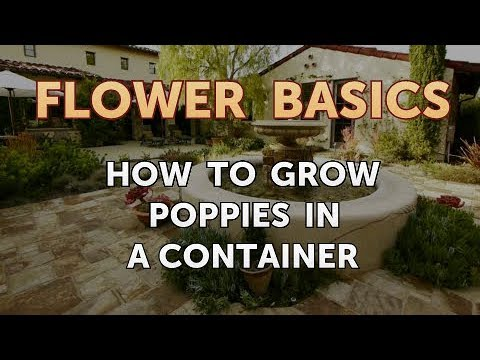 How to Grow Poppies in a Container