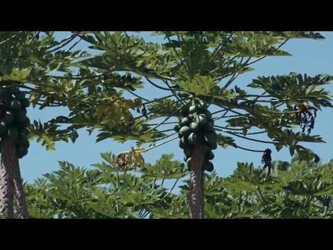 Hawaii Snapshot: Dennis Gonsolves Big Island Papaya