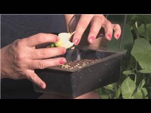 Growing Edible Plants : How to Grow Hot Peppers Indoors From Seeds