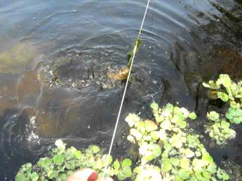 My first Florida Softshell Turtle 4-16-2011