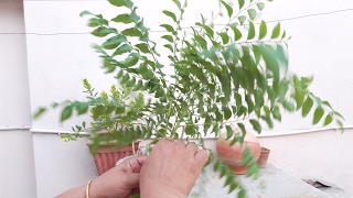 How to grow Curry Leaves Plant by cutting || Kadi Patta from cutting || 8 June, 2017
