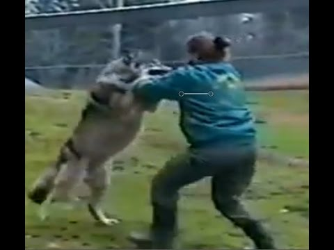 Wolf attacks the zoo keeper!!!