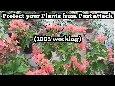 How to Remove pest from Hibiscus plant without use any type of Pesticide || 100% Working