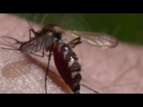 Ahne hyttynen