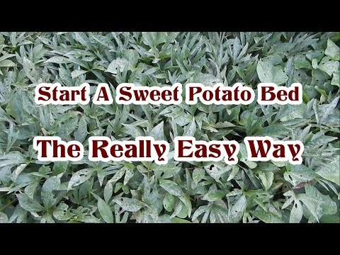 Planting and Growing Sweet Potatoes The Easy Way