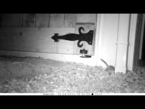 Rat Filmed on Spy Cam in the Middle of the Night