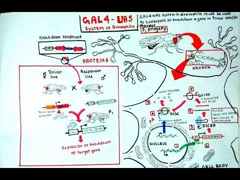 Gal4 UAS system in Drosophila