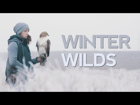 Red-Tailed Hawk Winter Hunting in 5K!