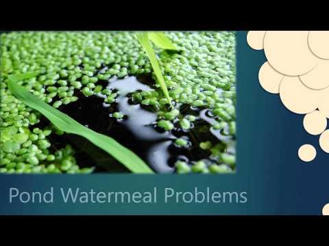 NBS RASK - Pond Duckweed Treatment