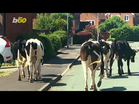 100 Cows Escape Farm & Take Over Neighborhood