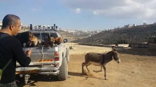 حمار يهاجم كلابي مع جمال العمواسي