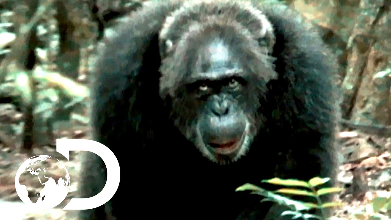 Most Brutal Chimpanzee Society Ever Discovered | Rise of the Warrior Apes