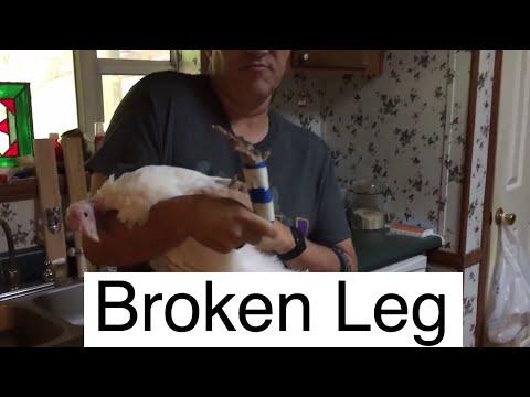 Broken Leg Treatment at AldermanFarms   Turkey with Broken Leg