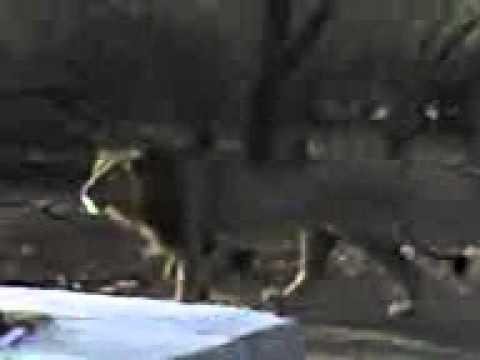 Live Capture OF LION-2 .3gp