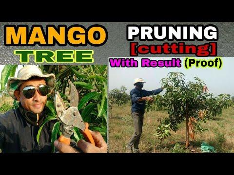 Mango tree Pruning | Mango tree Cutting