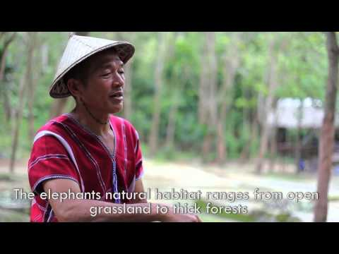 Asian Elephants, their Diet and their Habitat