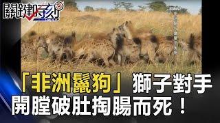 「非洲鬣狗」 獅子豹子的終極對手 開膛破肚活活掏腸而死! 關鍵時刻 20170512-7 朱學恒