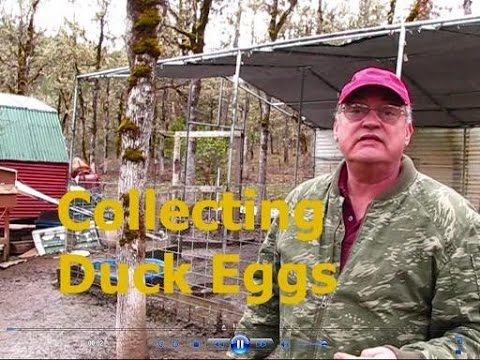 Collecting Duck Eggs for the Incubator