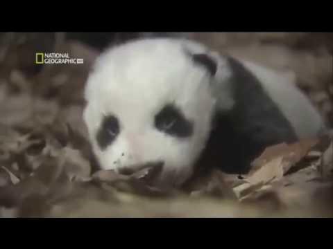 Documentary panda in danger of extinction